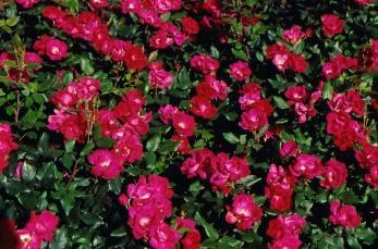 Best Favorite Flowers In The World Shrub Rose