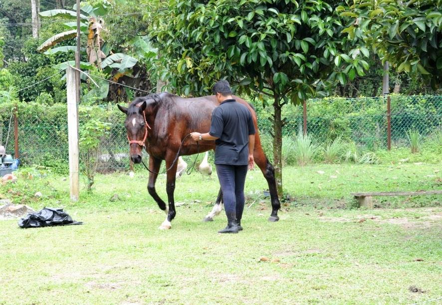 As Equestrian Centre Kuda Untuk Latihan Menunggang