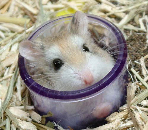 http://2.bp.blogspot.com/_SHpFkIS2hos/SZRR_ufpR2I/AAAAAAAAAZw/qyh_t-Fuwp4/s1600-R/hamster017pr2.jpg