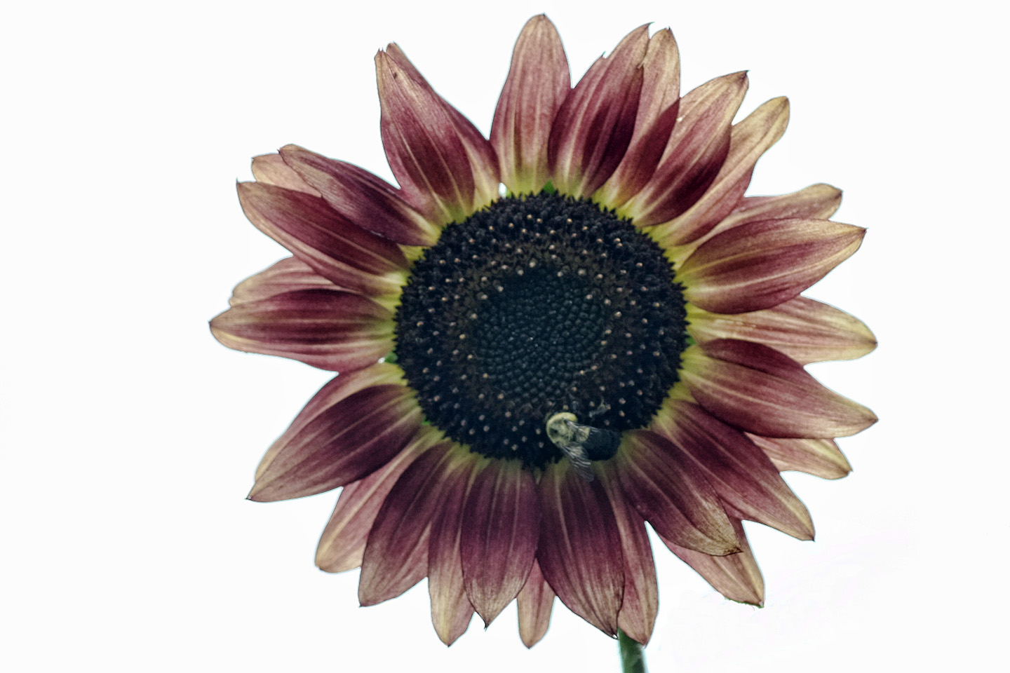 How To Change A Kitchen Faucet With Sprayer Sunflower Colors 28 Images Rust Colored Sunflower The