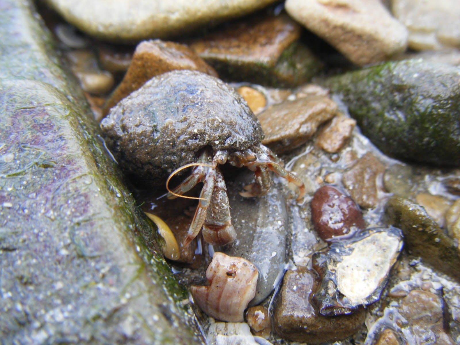 21stcenturynaturalist: Hermit Crabs Prefer Winkle Shells