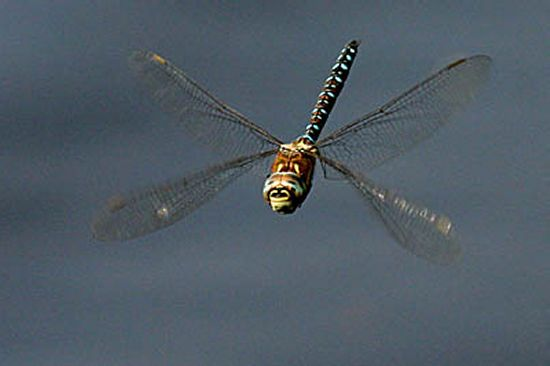 dragonfly-eggs-in-water