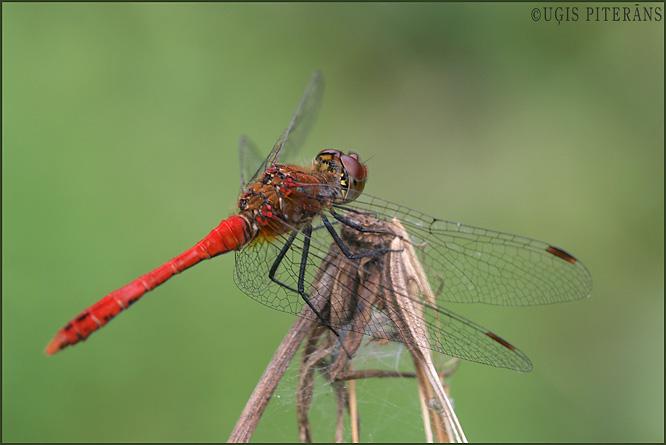 Sarkanā klajumspāre (Sympetrum sanguineum)
