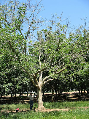 Phytophthora Root and Crown Rot of Walnut and Almond - The
