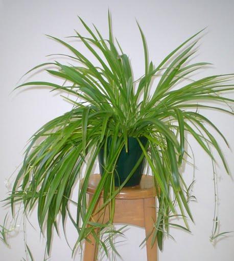 Growing Spider Plants Indoors: Inspired Involvement: Growing Houseplants