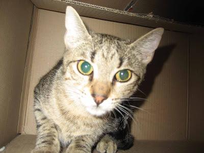 leucocitos bajos en gatos