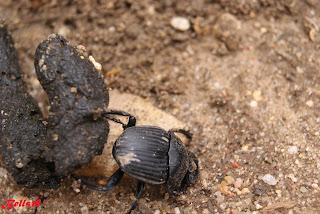 Resultado de imagen de escarabajo campo