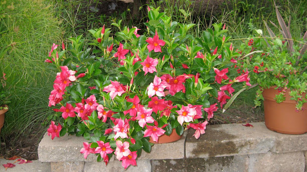 20 Mandevilla Sun Parasol Giant Pictures And Ideas On Meta Networks
