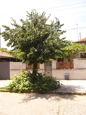 A Yambol Tree With Luscious Growth