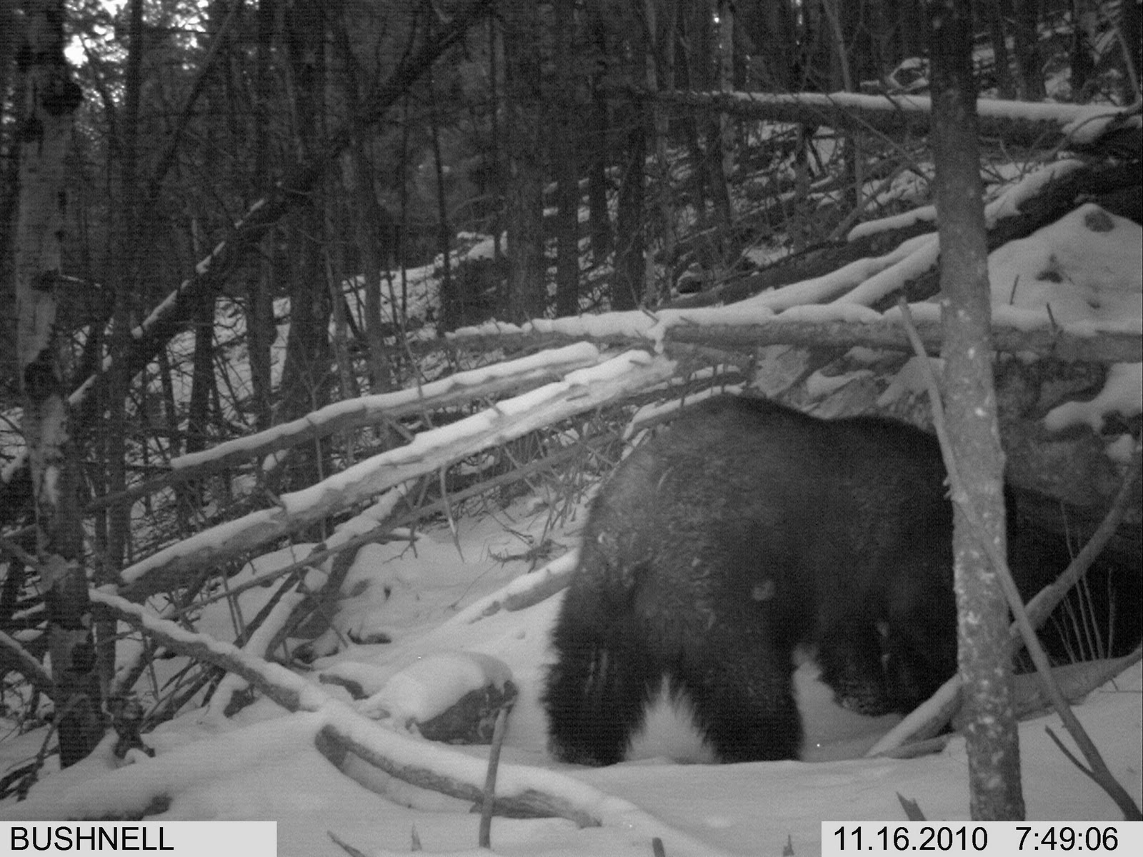 What does a real bear den look like from the inside?