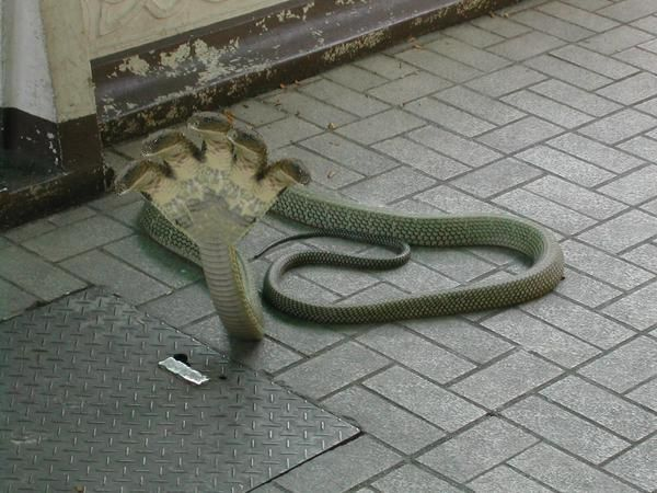 Interesting: Amazing snake five head