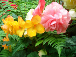 Begonias at Busch Gardens Outside Victoria BC