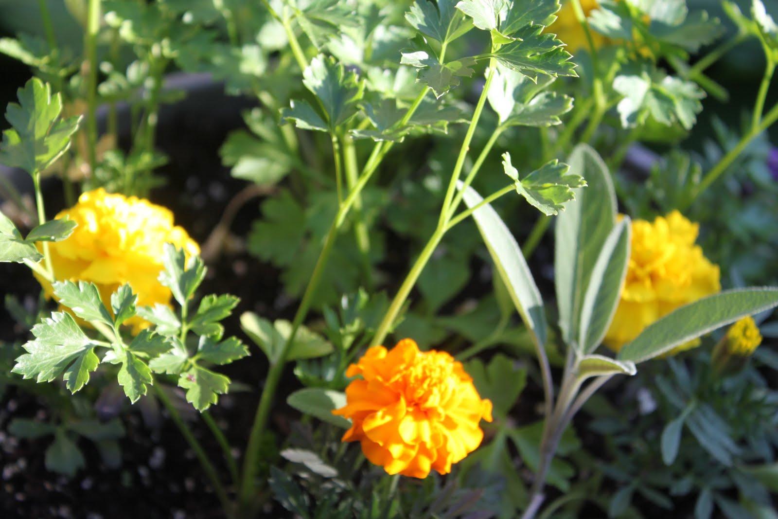 Sweet on You: Marigolds
