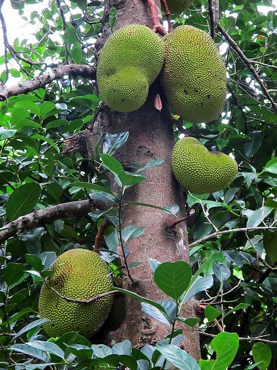 Ağaçta Yetişen En Büyük Tropik Meyve: Jak Meyvesi