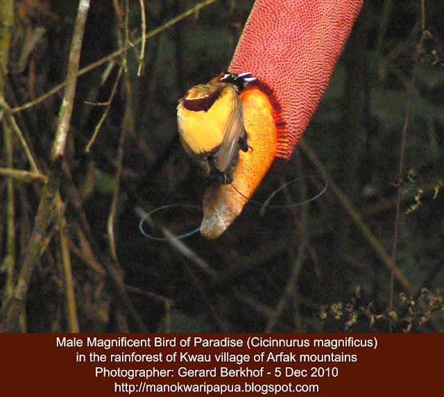 Birding in Arfak mountains