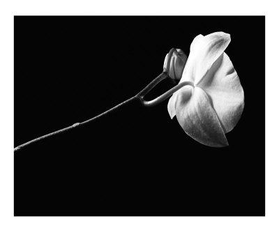 matthew-tourtellott-phalaenopsis-orchid-flower-2-in-black-and-white.jpg