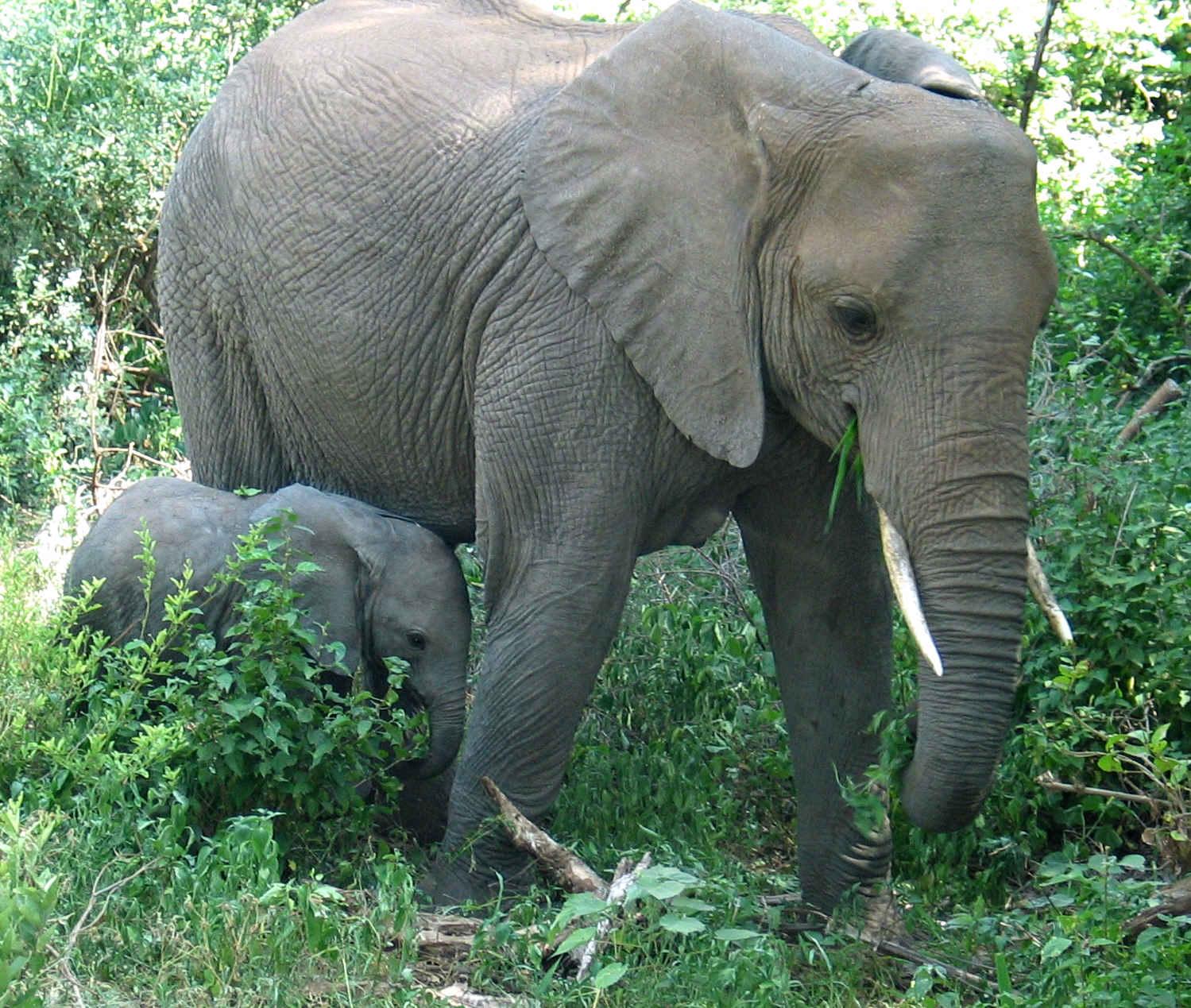 Pachydaction: Contre le massacre & le commerce d'ivoire ...