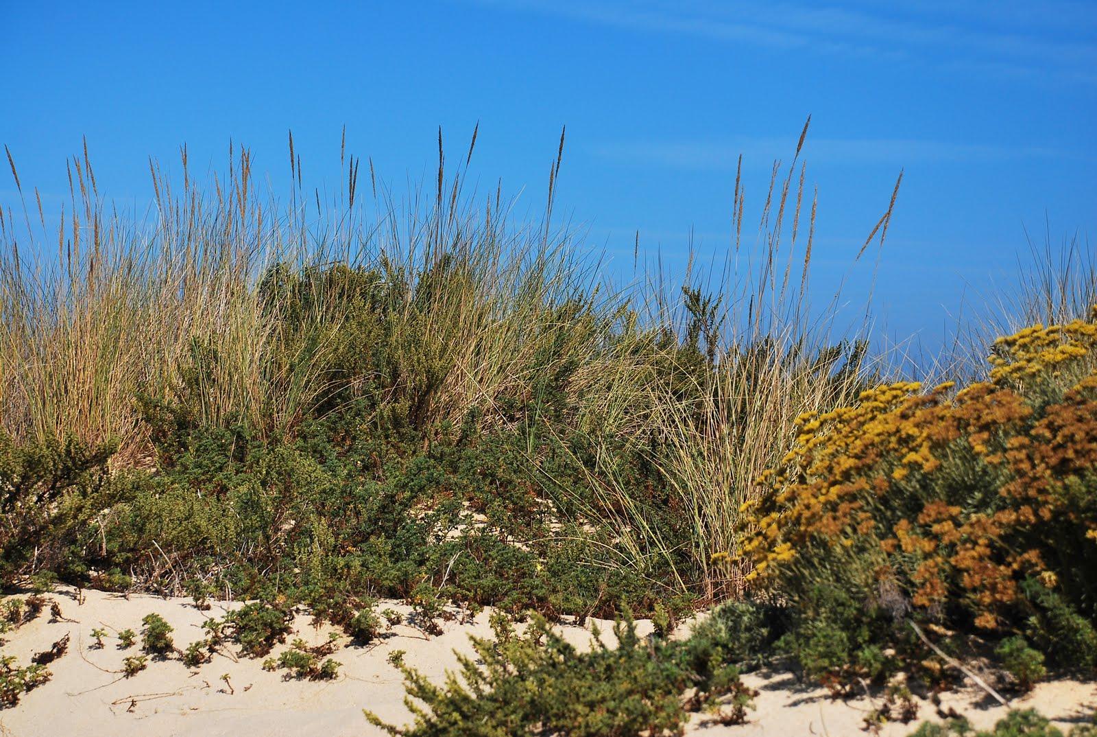 Resultado de imagem para especies dunares nazaré