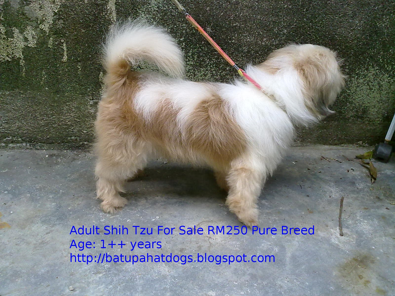 shih tzu adult for sale jpg 853x1280