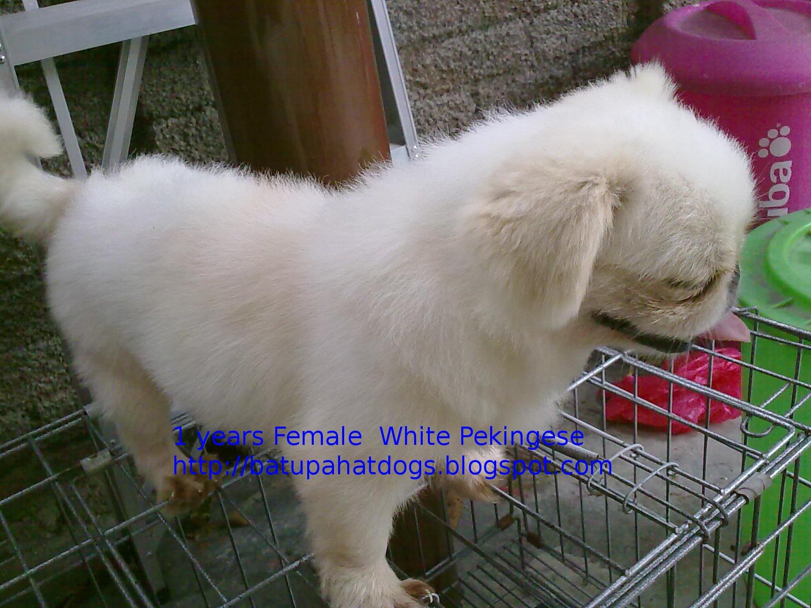 Adult White Pekingese For Sale  b0d418cc22