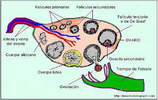 Esquema del ovario con diferentes formaciones
