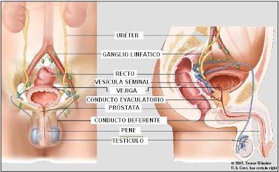 Órganos del sistema reproductor masculino