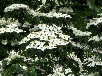 he Dogwoods comprise a group of 30-50 species of mostly deciduous woody plants