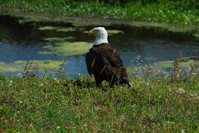 Bald Eagle The Nation's Symbol