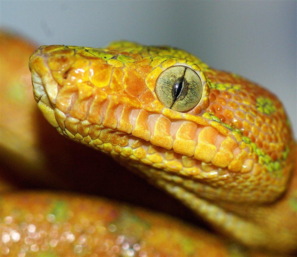 Neurodojo Snake Eyes