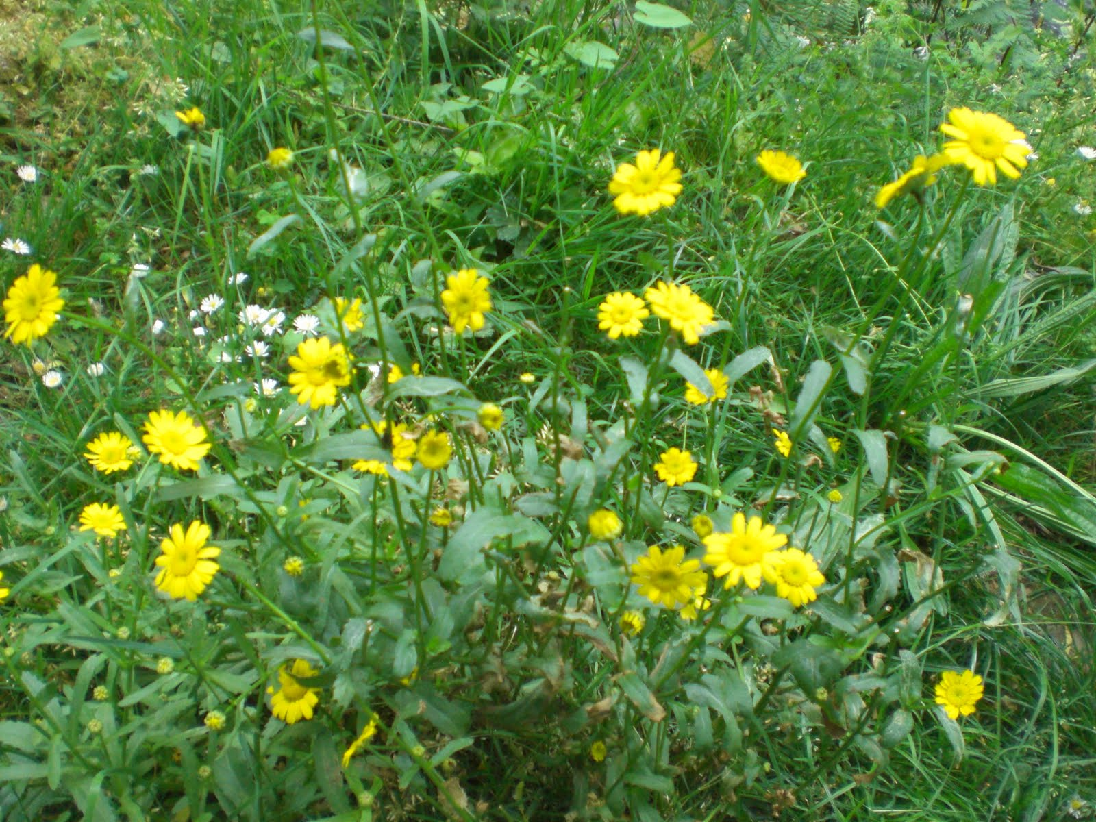 Margaritas De Colores En La Hierba 30995: Castrelos.: Flora De Castrelos