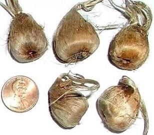 Chenab Industries Kashmir (CIK): Saffron Bulbs/ Corms/ SeedsKashmiri Saffron Bulbs