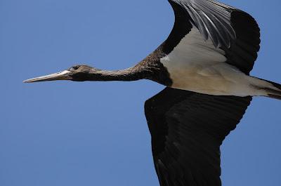 e9cf226d60e Reimo fotoblogi: Must-toonekurg / Cicconia nigra / Black Stork