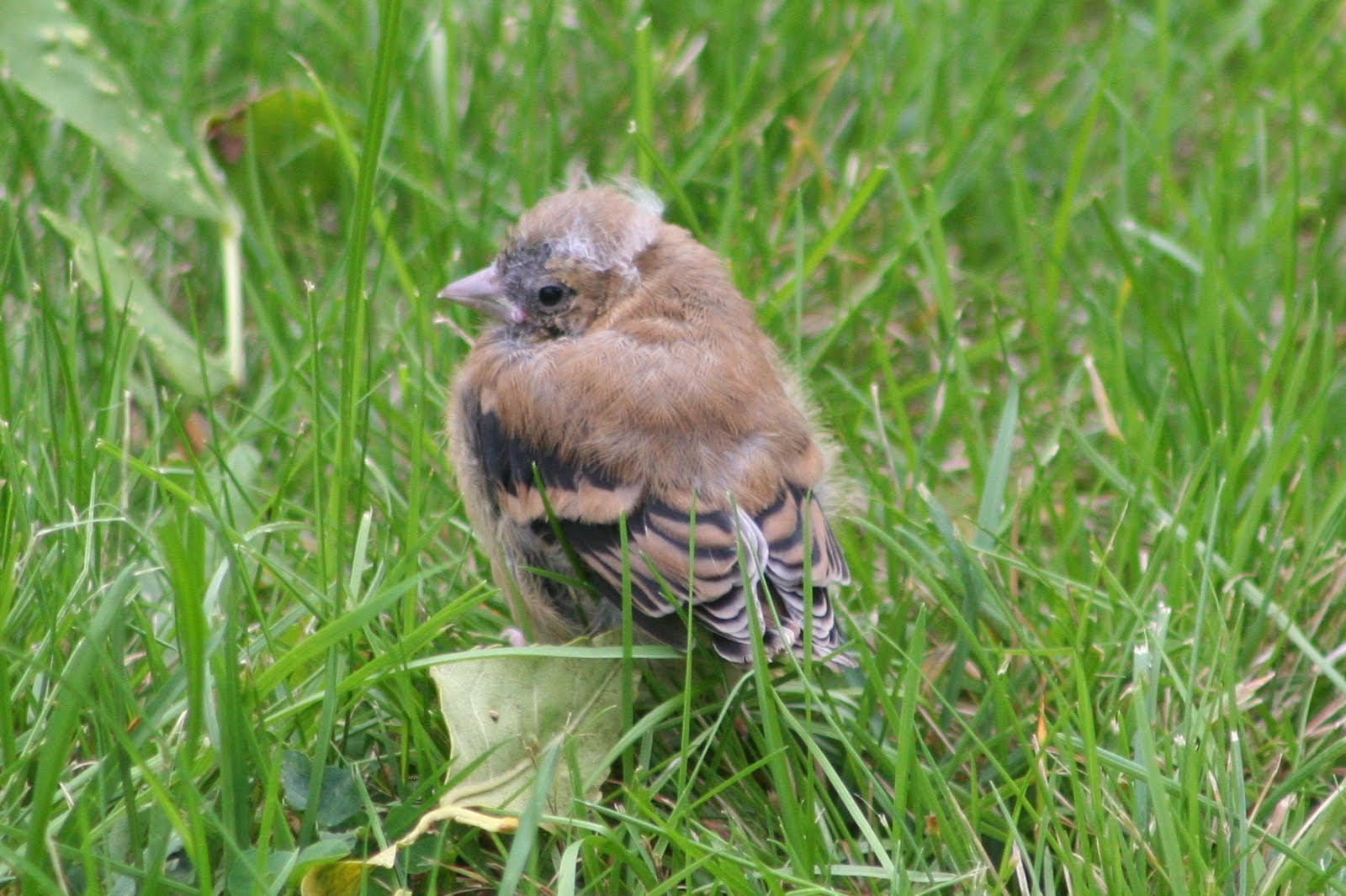 Newly Fledged American Goldfinch (Video)