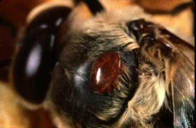 Varroa ο μεγαλύτερος εχθρός της μέλισσας video