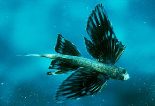 Ikan Terbang = Ikan + burung