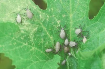 drops from plants from bug s ass