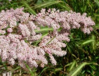 fleurs sauvages renaud: le tamaris