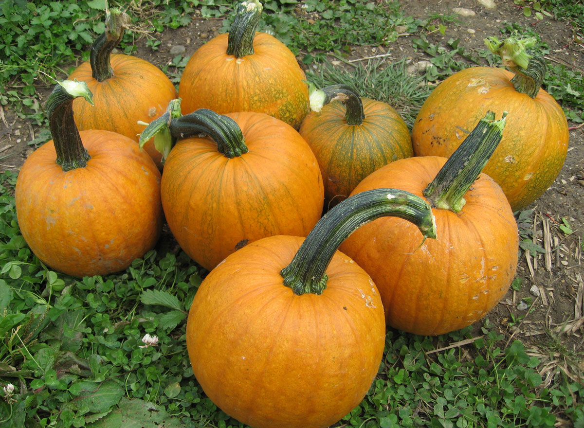 notstraight gardens: How to Grow Pumpkins with Companion ...