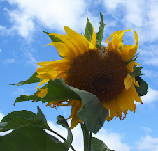 Sunflower in September