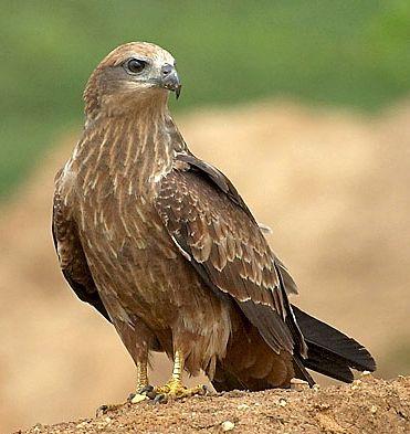 ARUNACHALA BIRDS: Brahminy Kite
