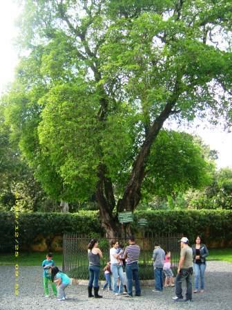 Árbol de Esquisuchil