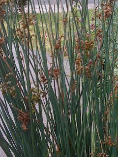 Artemisia Californica Geno's Garden Design &...