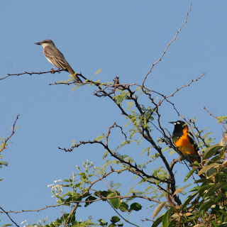 Gray Kingbird and Troupial, Guanica, Puerto Rico