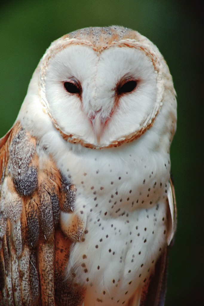 Barn Owl High Definition WallpapersCool Wallpapers