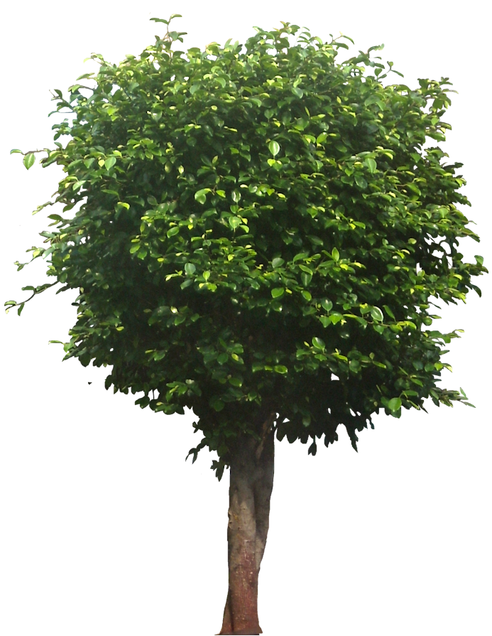Car Maintenance Tropical Plant Pictures: Ficus Microcarpa (chinese Banyan