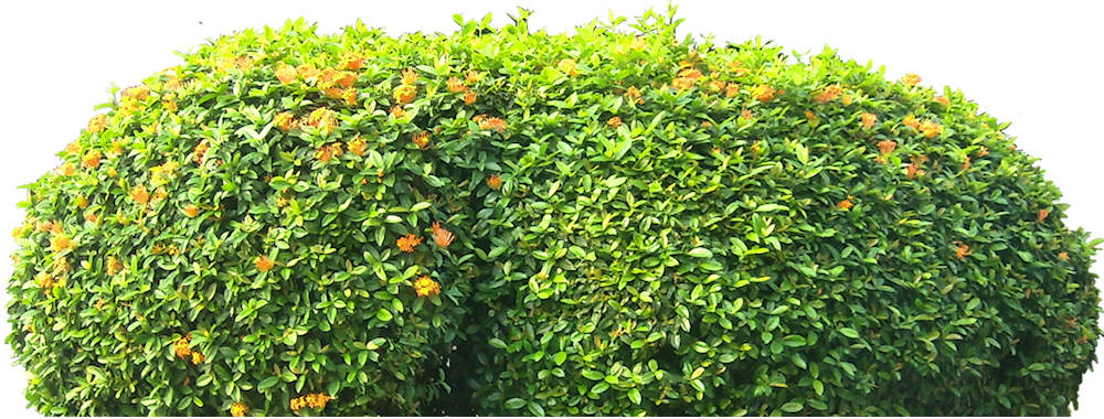 ixora02L Palm Plants Home on office plants, florida plants, air plants, broadleaf deciduous plants, bamboo plants, dracaena like plants, vegetable plants, rhubarb plants, indoor plants, bonsai plants, cold sago plants, fern plants, orchid plants, hand plants, jungle plants, angel plants, corn plants, tropical plants, potted plants, types of plants,