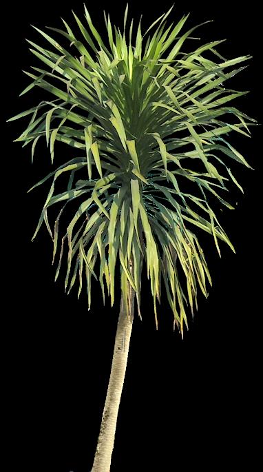Dracaena on Tropical Ornamental Trees