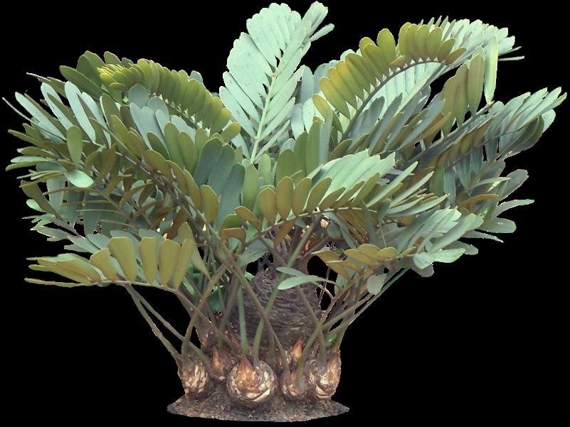 Tropical Plant Pictures: Zamia Furturacea (Carborad Palm ...