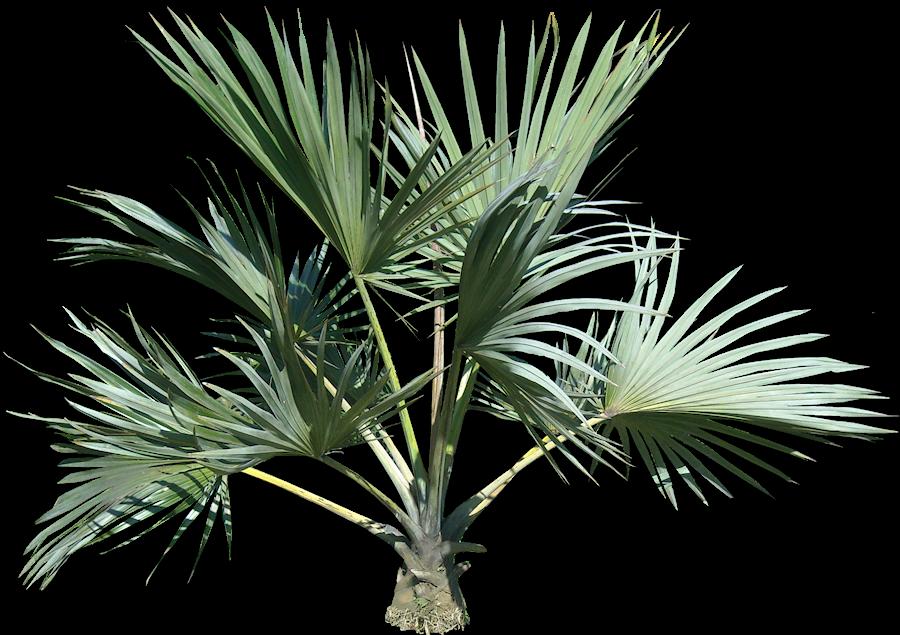 Tropical Plant Pictures: Latania verschaffeltii (Yellow ...