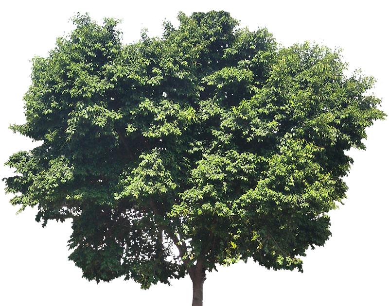 Tropical Plant Pictures Ficus Benjamina Weeping Fig